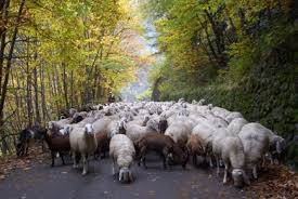 mandria di pecore belanti dirette al macello
